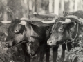 The bullocks