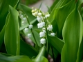 Lily of the valley outside gompa